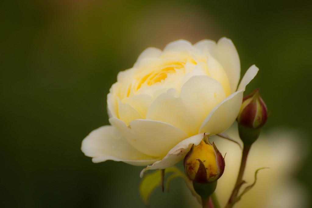 En av alla rosorna